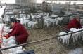富平:小羊羔 正长膘!