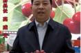 澄城县长为樱桃代言  邀您来吃最甜的樱桃!