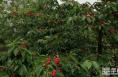 富平:6000多亩樱桃成熟 5月15日邀您走进直播间助力产业扶贫