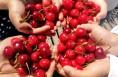 临渭区桥南镇:依山傍水的樱桃更特别  来尝鲜吧