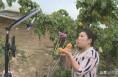"""大荔:手机成为""""新农具"""" 直播卖水果正当时"""