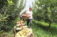 大荔早熟苹果成熟上市