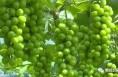 技术托管给专业公司  葡萄长势不一般