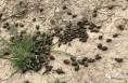 注意核桃树金龟子和黑斑病的危害!