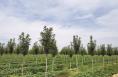 华阴:种下经济林 致富有奔头
