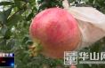 渭南市华州区:璀璨红宝石——精品软籽石榴成熟上市