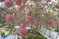 《直通县市》澄城:苹果红彤挂枝头 甜美醉香满坡沟