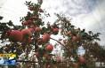《直通县市》白水:果园托管新模式 助力产业发展果农脱贫致富