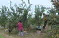 韩城坡头村:火红的柿子挂枝头 鼓了腰包乐了农民