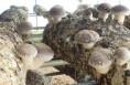 合阳县甘井镇:小香菇成为家门口的大产业