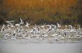 ?候鸟迁徙洽川湿地