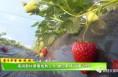 """最牛年货抢枪抢:南洞新村草莓成熟上市 邀您来场""""甜蜜""""约会"""