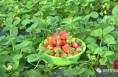 """南洞新村草莓成熟上市 邀您来场""""甜蜜""""约会"""