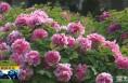 《直通县市》牡丹花开春满园 国色天香惹人爱