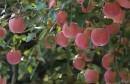 十五种修剪技术让你的果园丰产稳产优质高效