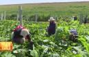 华州: 长短期农作物相结合 助脱贫