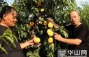 """大荔:60多亩成熟的套袋""""金黄蟠桃""""上市"""