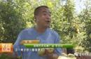 早熟的秦阳苹果真给力 胡家村民乐开花