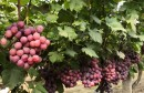 蒲家村:800亩红提成熟 果农增收乐