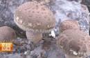 香菇种植村:老产业的新风貌