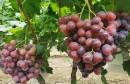 坤禾坤益健生物有机肥:育苗保根又防病 促进果品质量再提升