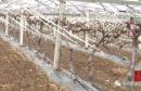 春季果园管理云课堂(七):葡萄树春季管理分阶段