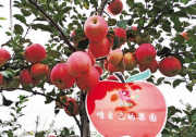 白水:苹果红了,快来采摘吧