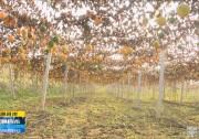《直通县市》特色种植今丰收 脱贫致富信心足