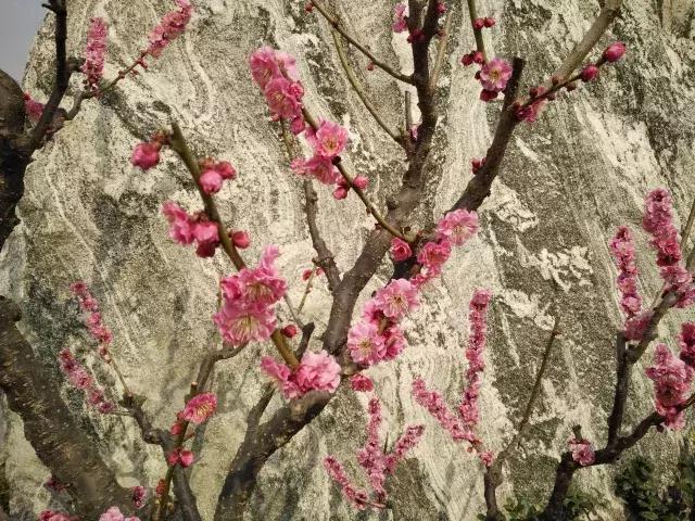 早春赏花正当时——渭南人民公园梅花香
