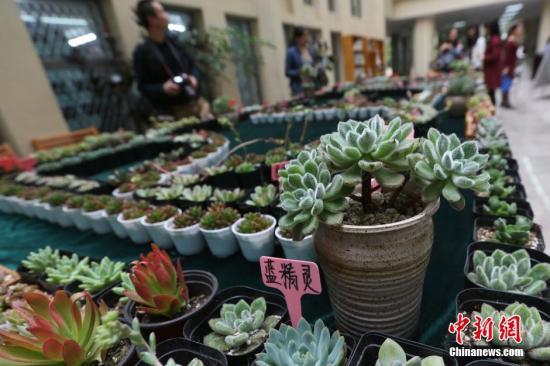 资料图:多肉植物。<a target='_blank' href='http://www.chinanews.com/'>中新社</a>记者 泱波 摄