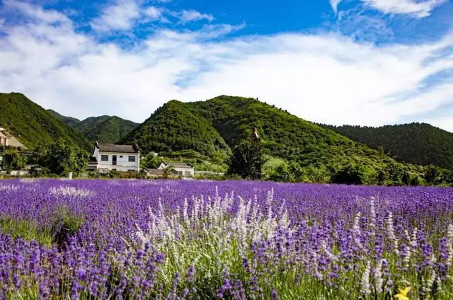 渭南这片薰衣草已花开成海,许你一个家门口的普罗旺斯!