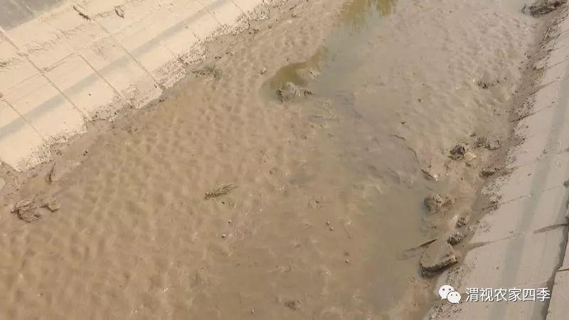 临渭官道百亩玉米难灌溉 交口抽渭:灌渠河水含沙多
