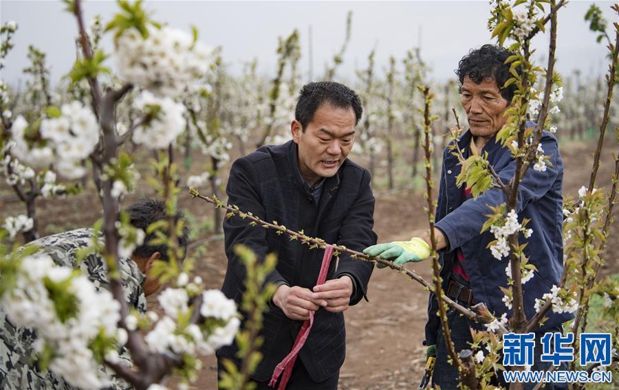 (脱贫攻坚)(3)陕西渭南:千亩现代樱桃园助力群众致富