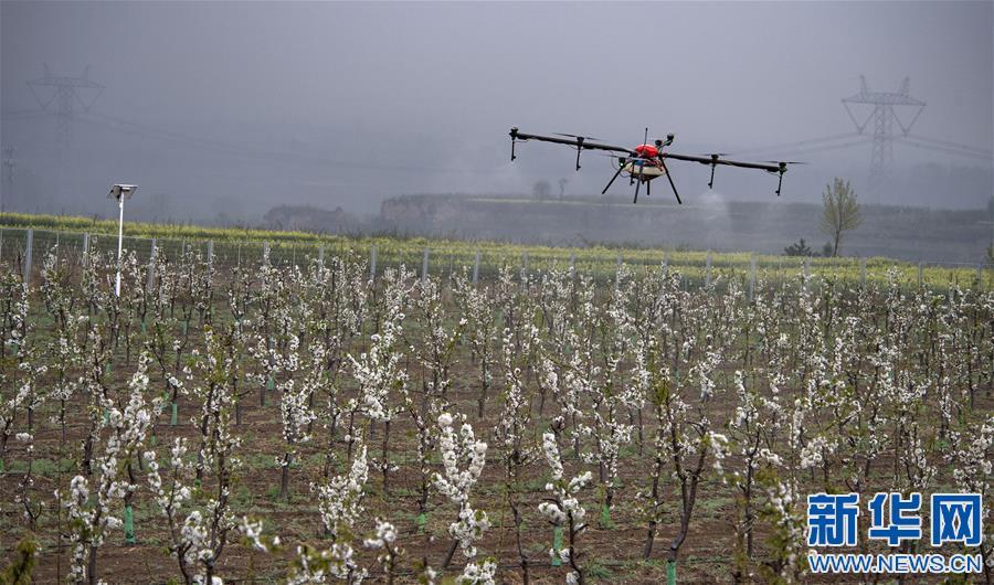 (脱贫攻坚)(1)陕西渭南:千亩现代樱桃园助力群众致富