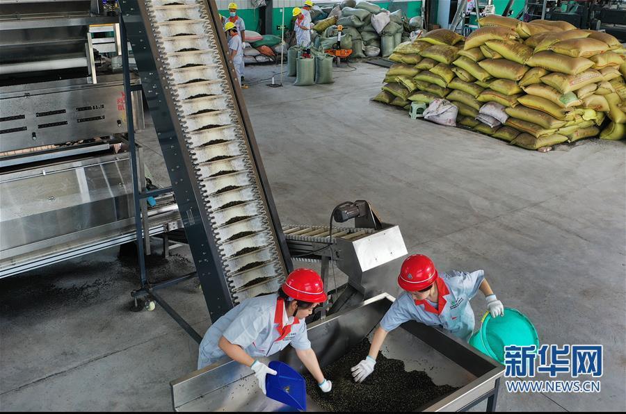 (经济)(5)陕西华州:小小花椒树 致富大产业