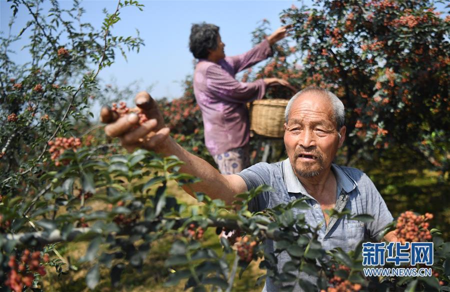 (经济)(1)陕西华州:小小花椒树 致富大产业