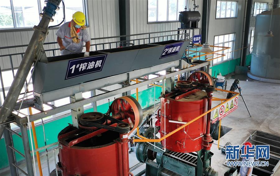 (经济)(4)陕西华州:小小花椒树 致富大产业