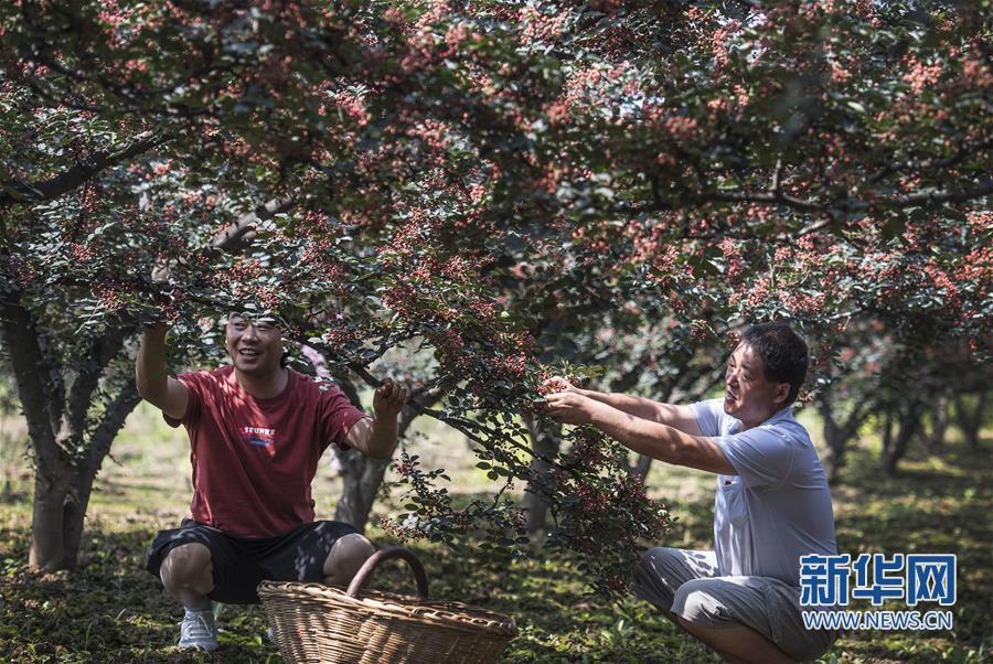 (经济)(2)陕西华州:小小花椒树 致富大产业