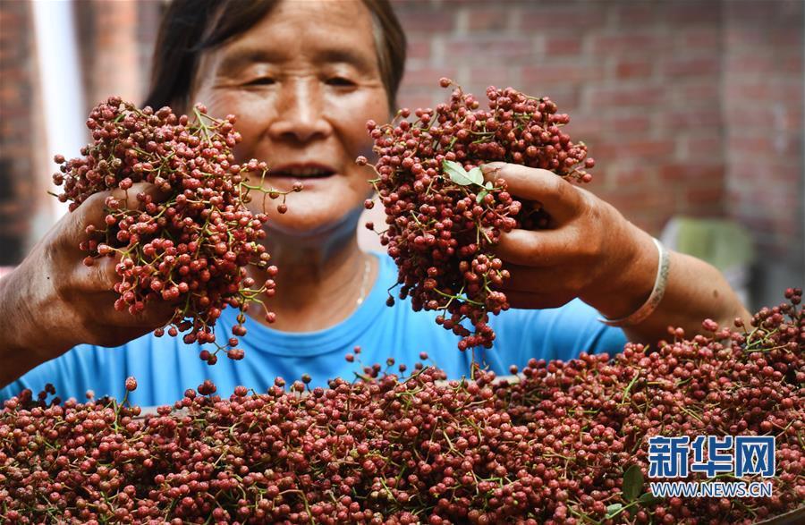 (经济)(3)陕西华州:小小花椒树 致富大产业