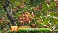 上庄村人种花椒