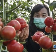 华州区:秦岭脚下的西红柿红了