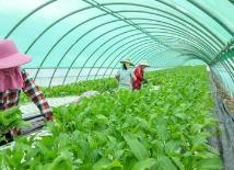 海南政企合力缓解海南冬季瓜菜滞销问题