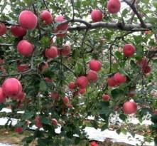 陕西白水:战疫情、抓果品生产两不误