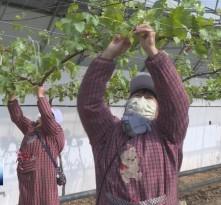 渭南葡萄产业园:一手抓防疫  一手保生产