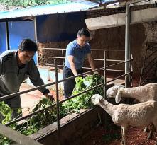 """合阳县乾落村冯绪祖:""""多亏了西农的这群羊"""""""