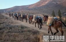 骡队驮黄土上山 渭南蒲城县三年要让三万亩秃山变绿山