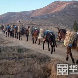 騾隊馱黃土上山 渭南蒲城縣三年要讓三萬畝禿山變綠山