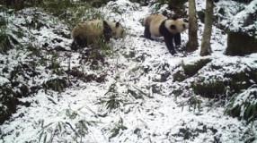 我省再次拍到秦岭大熊猫母子影像