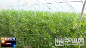 渭南市华州区:小小西红柿致富大产业