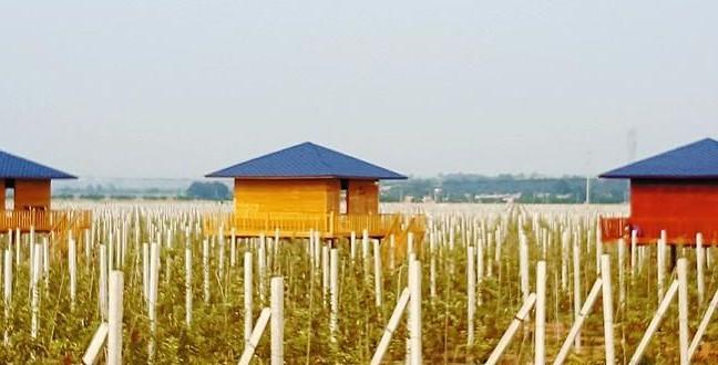 渭北高原上的荷兰苹果